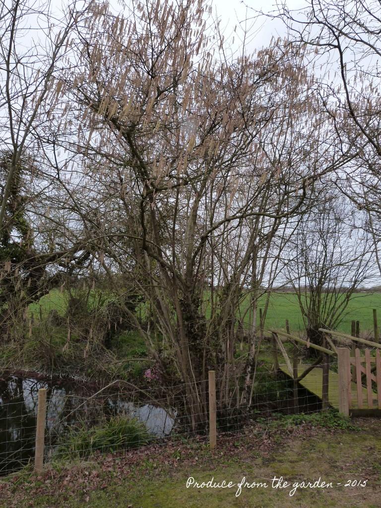 Cobnut tree