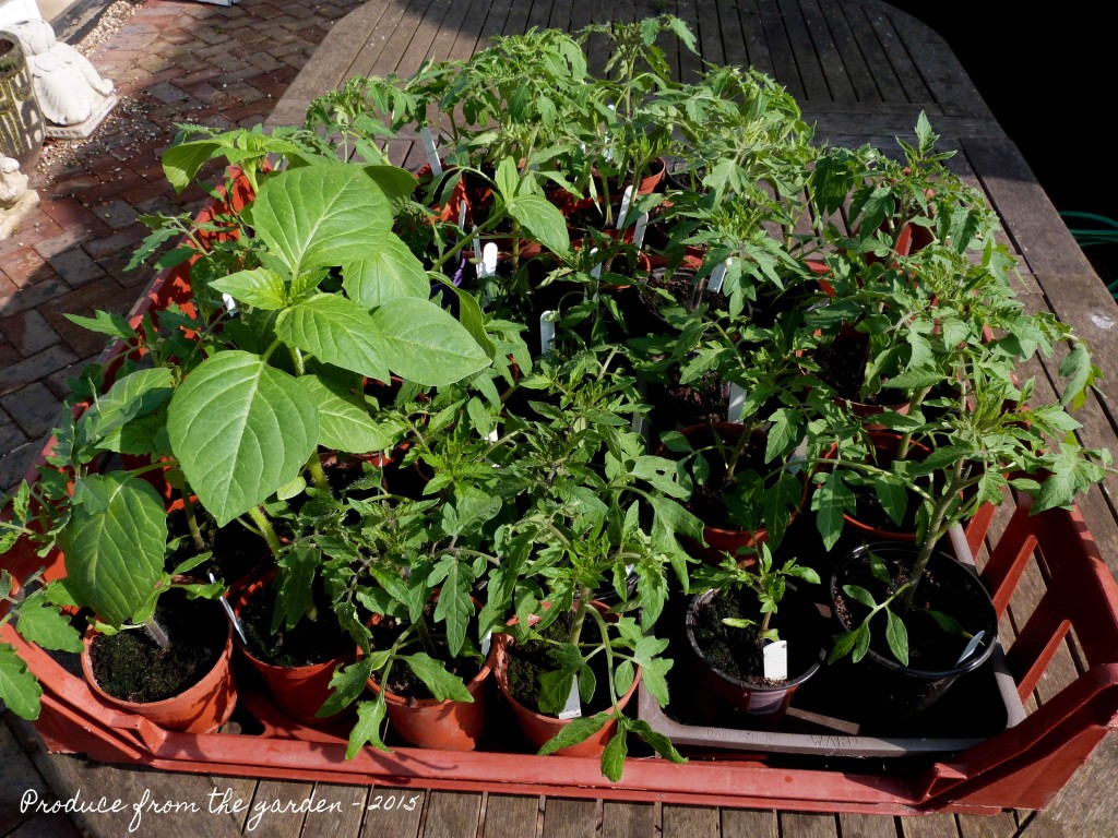 Tomato and Tomatillo plants