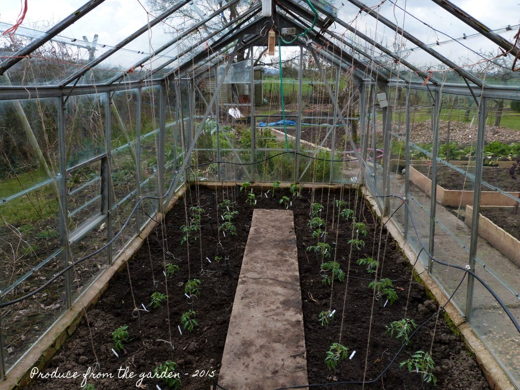 Tomatoes and Tomitillo plants, planted inthe green house