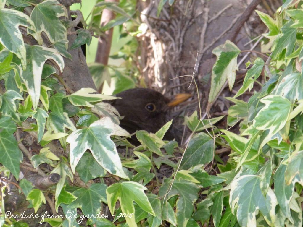 Black Bird Nesting