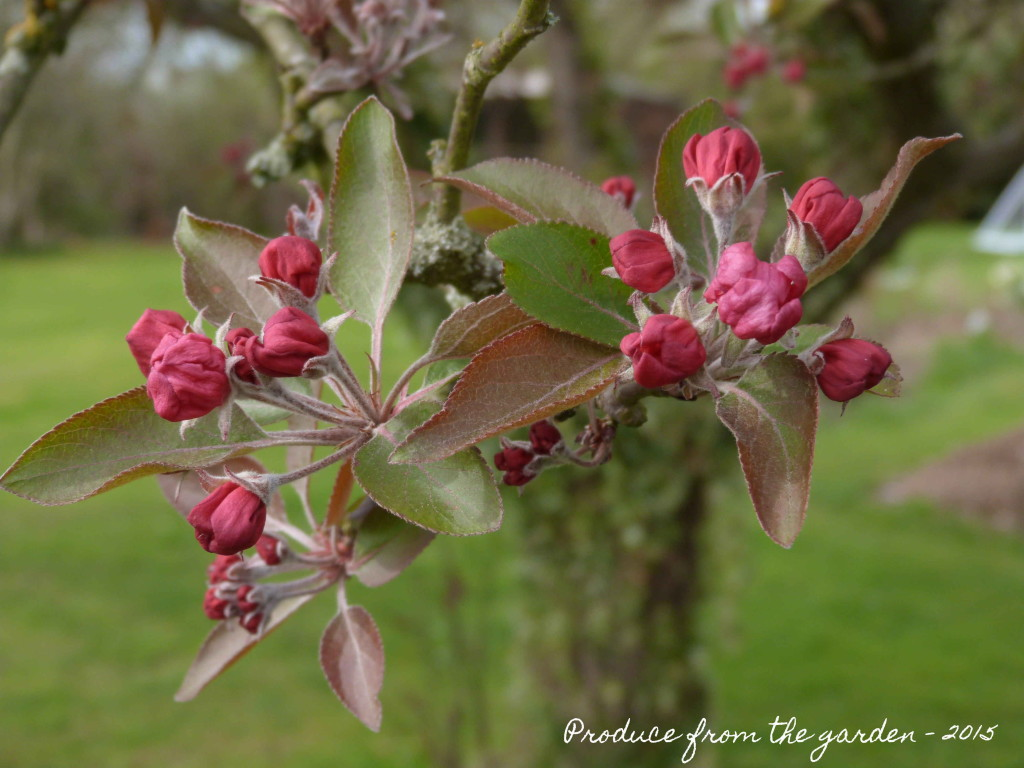 Crab Apple blossom nearly out