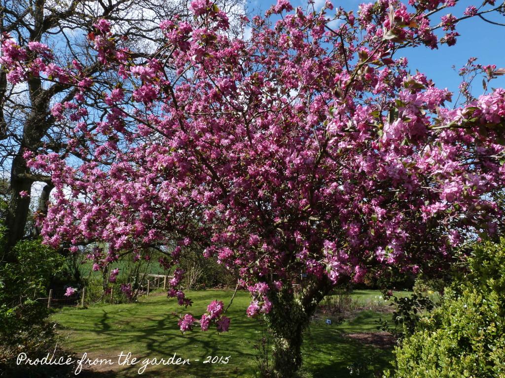 Crabapple tree in bloom