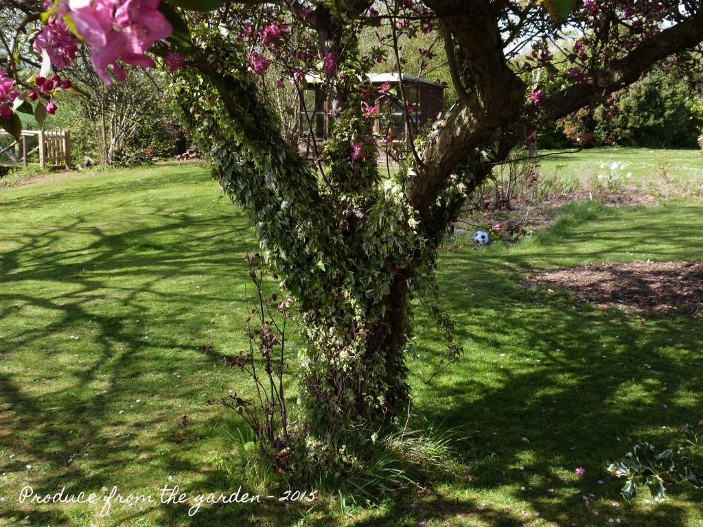 Crabapple tree trunk