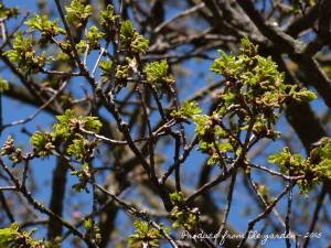 Oak in leaf