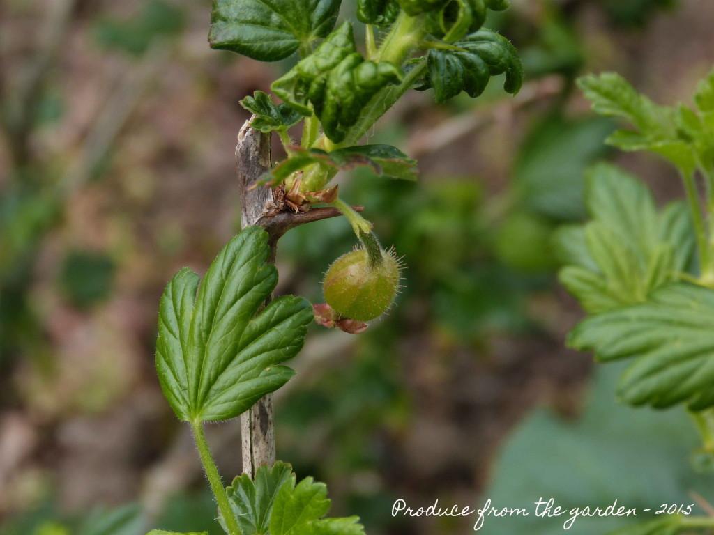 Baby Gooseberry