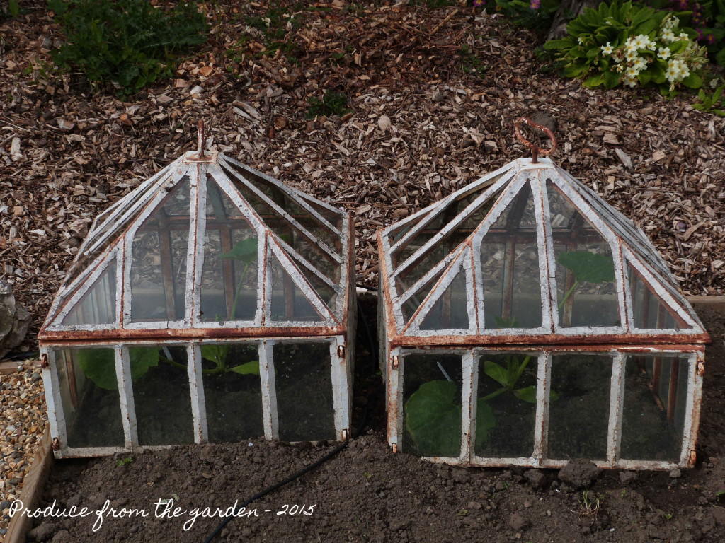 Courgettes under cloches
