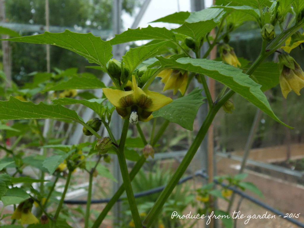Tomatillo flowers
