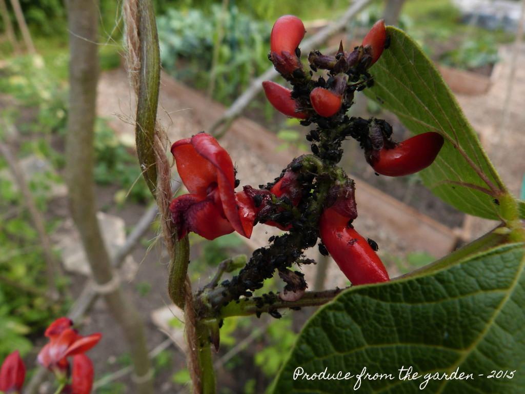 Black fly on runner bean