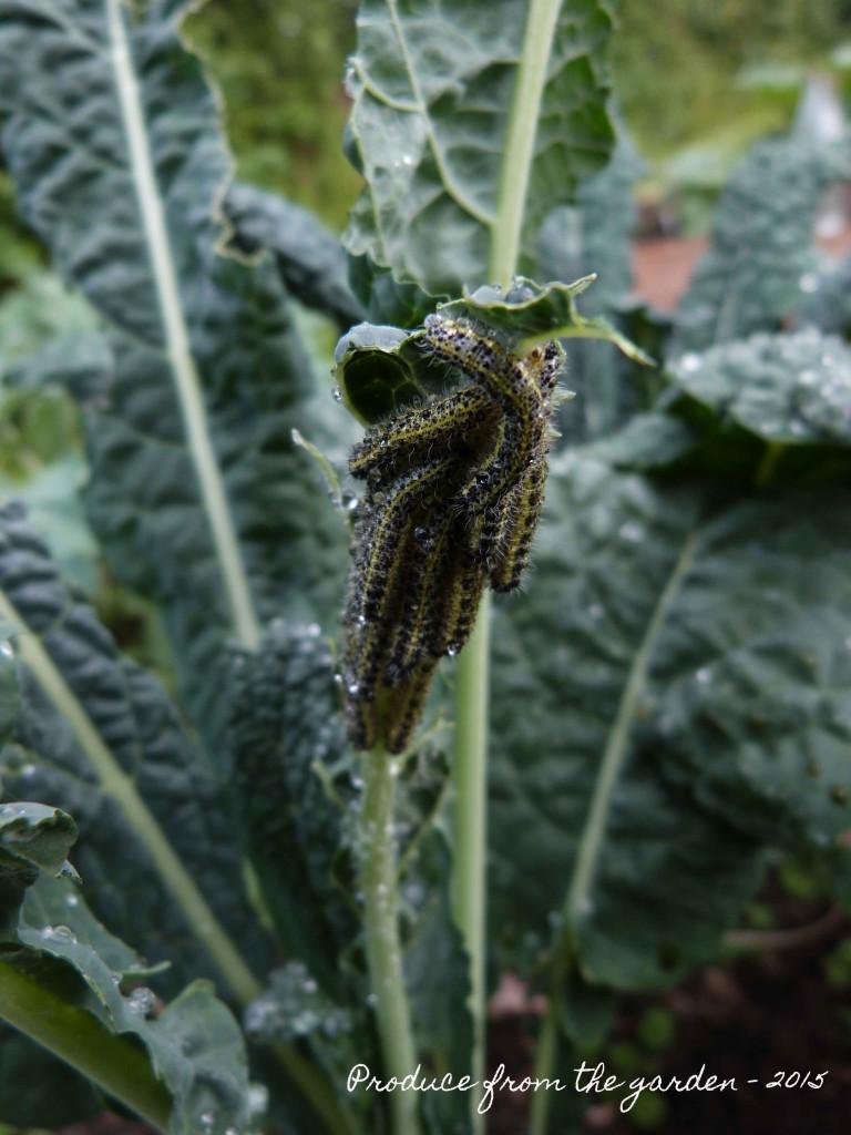 Cabbage White Caterpillars