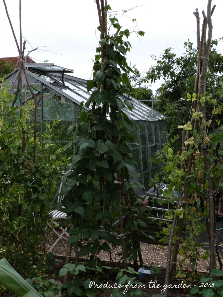 Climbing french bean plants