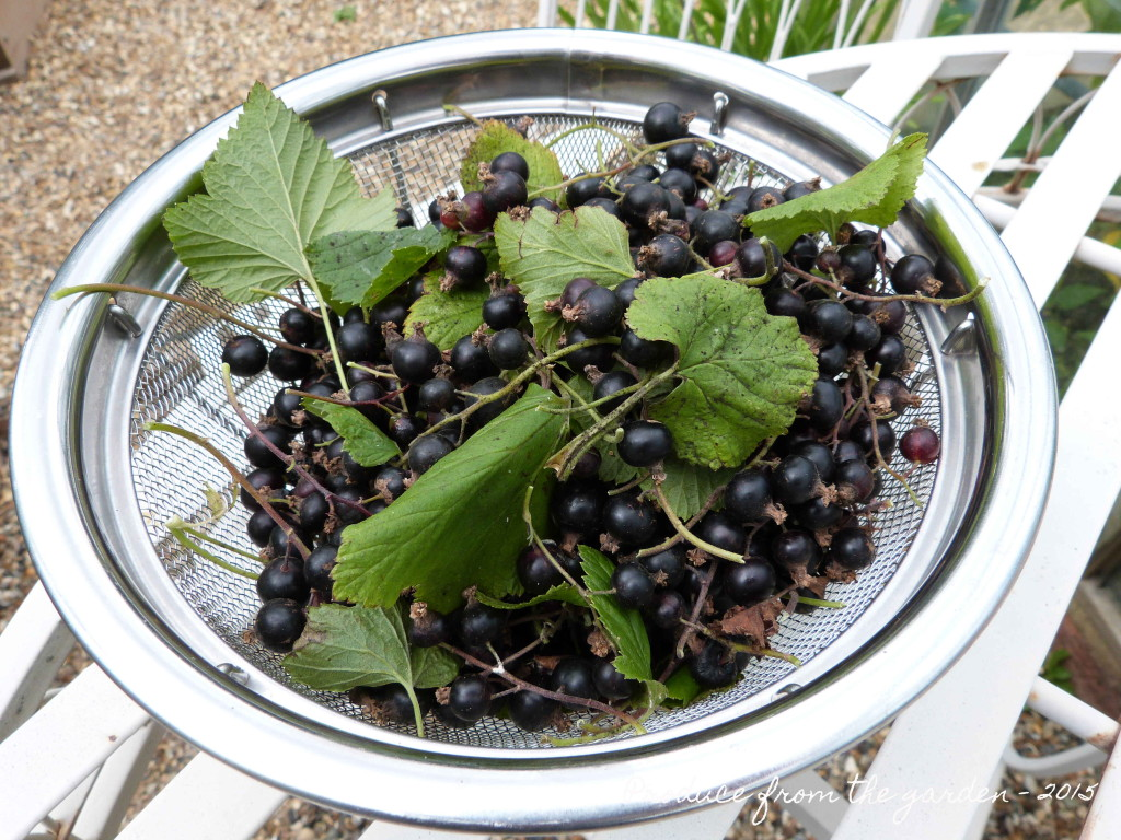 Harvested blackcurrants