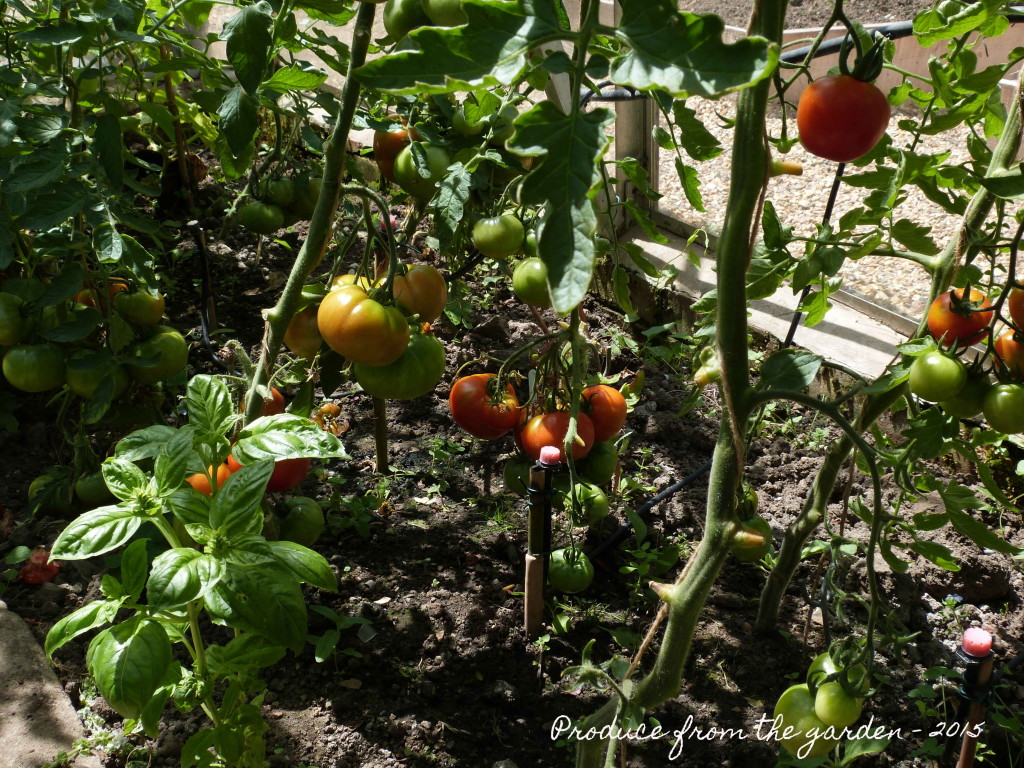 Tomatoes and basil in the greenhouse