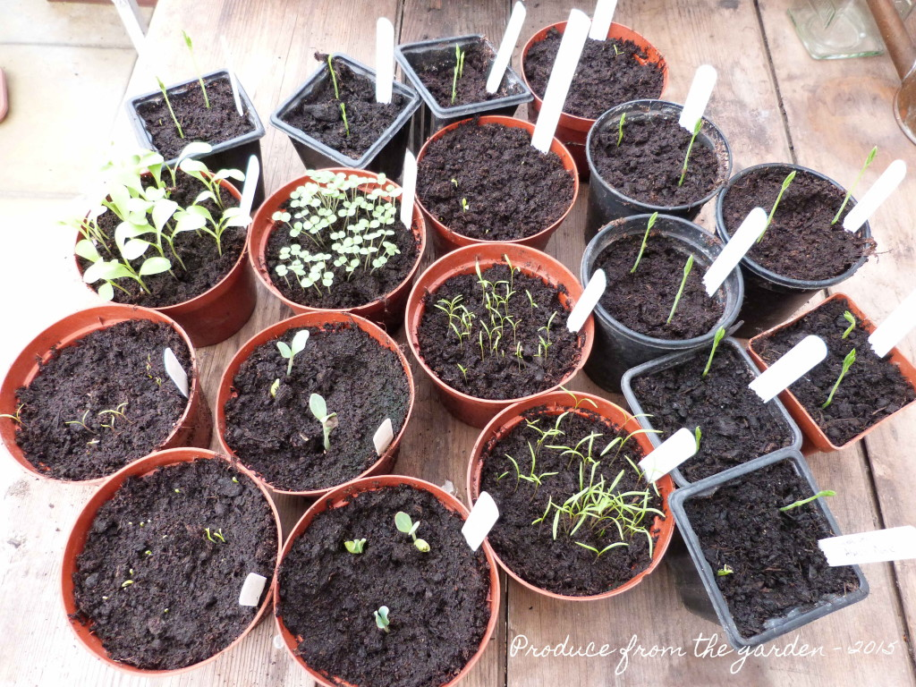 Autumn sown seedlings