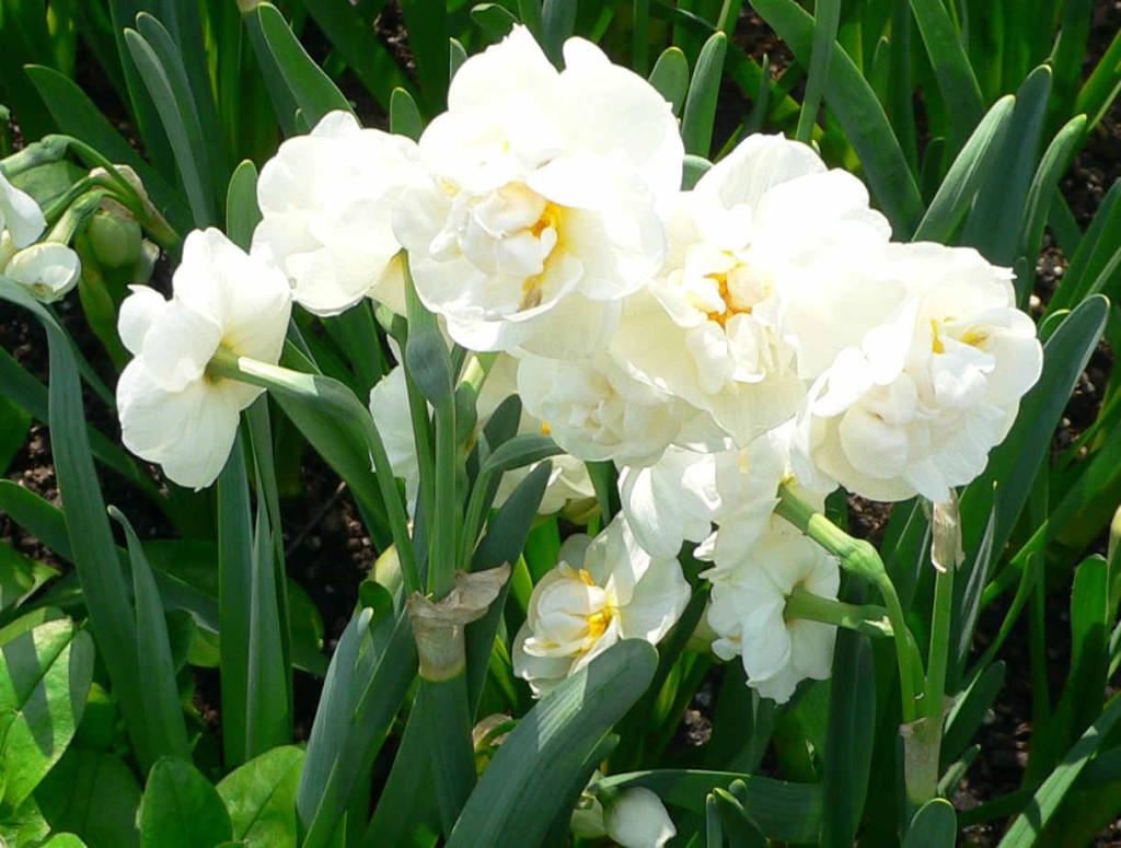 Narcissus bridal crown