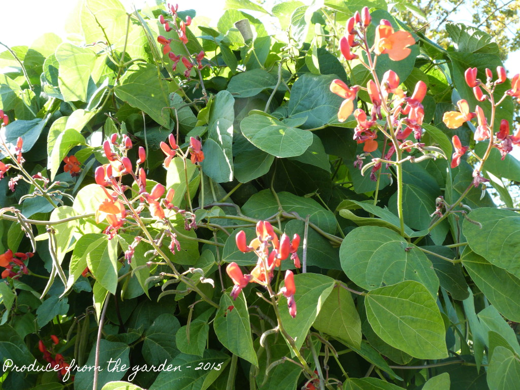 Runner bean flowers