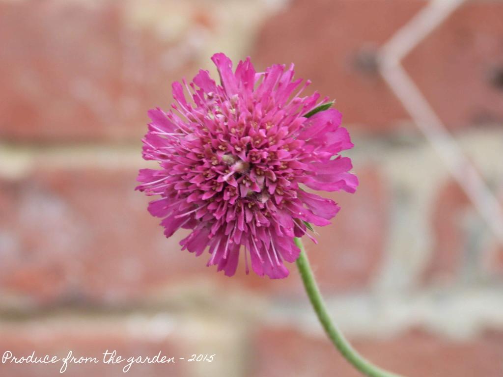 Knautia macedonica 'melton pastels'