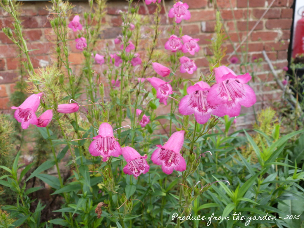 Penstemon - Just Jayne