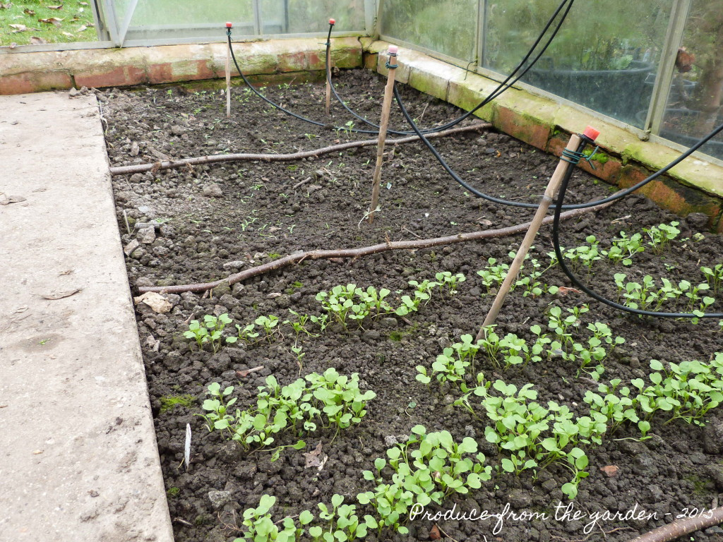 Salad seedlings, seed tape v seed