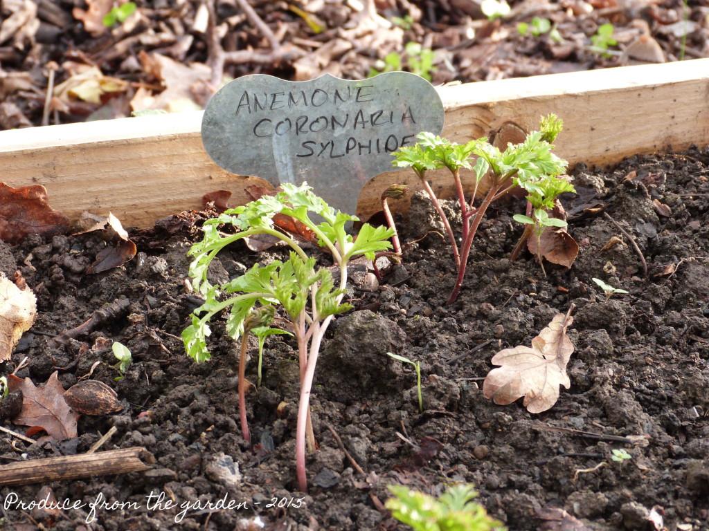 Anemone Coronaria Sylphide shoots