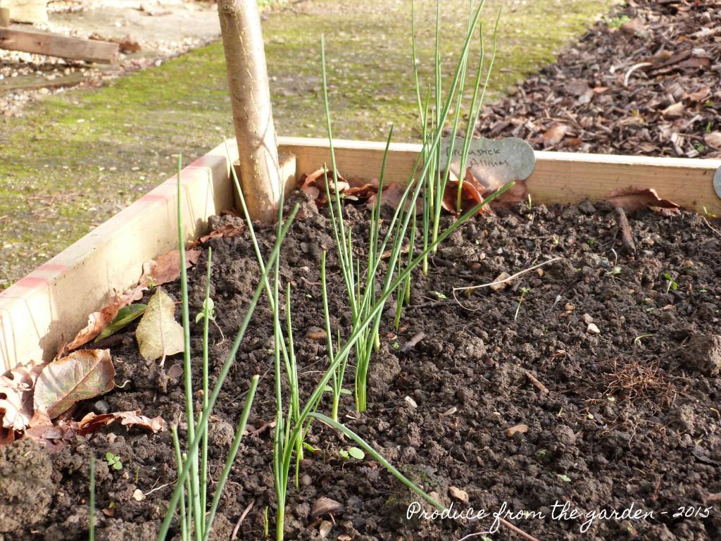 Drumstick Alliums shoots