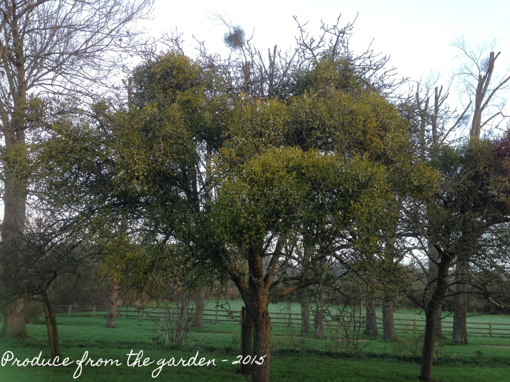 Decorating with mistletoe and then using the berries to for Garden law trees