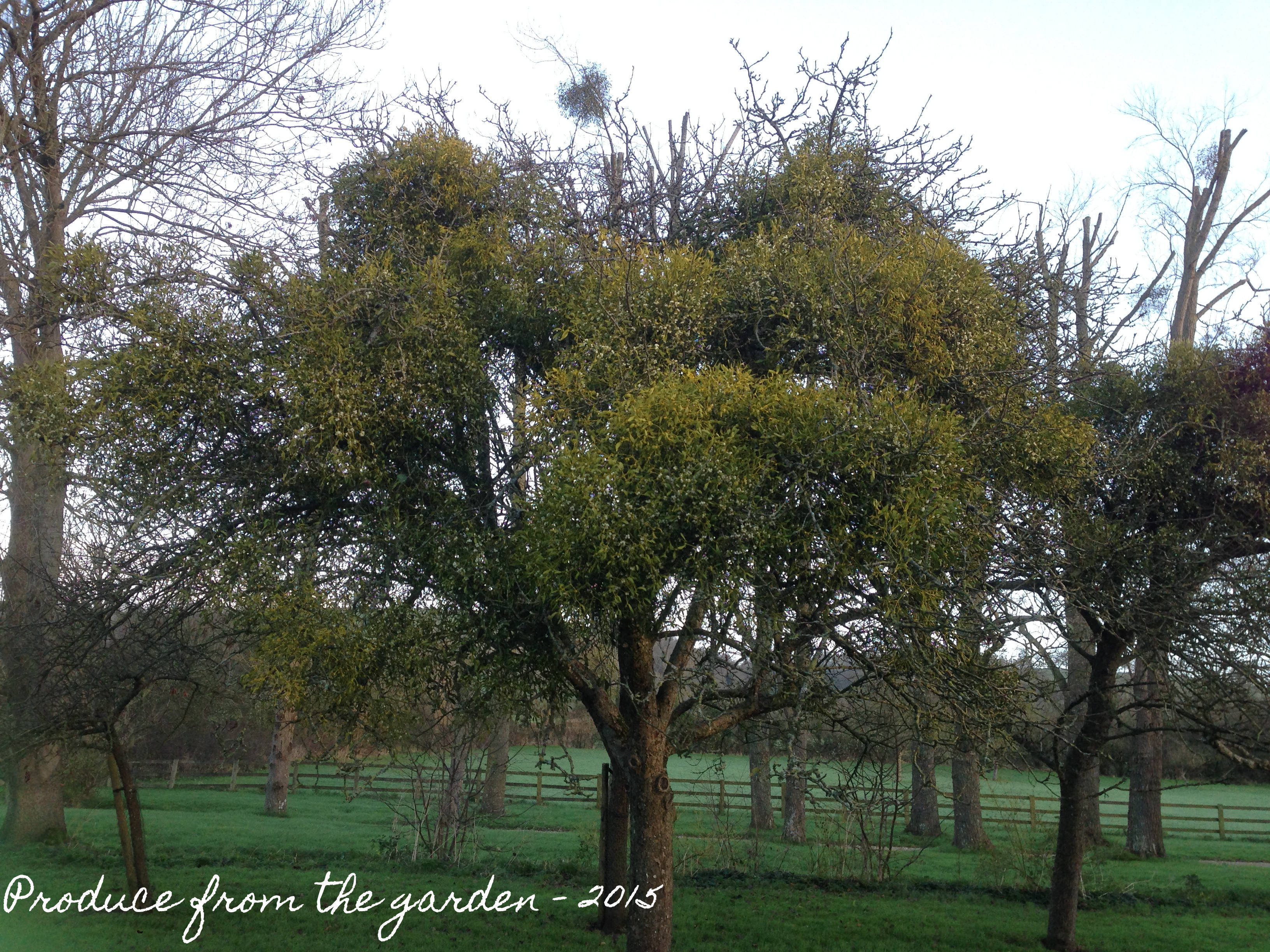 Decorating With Mistletoe And Then Using The Berries To