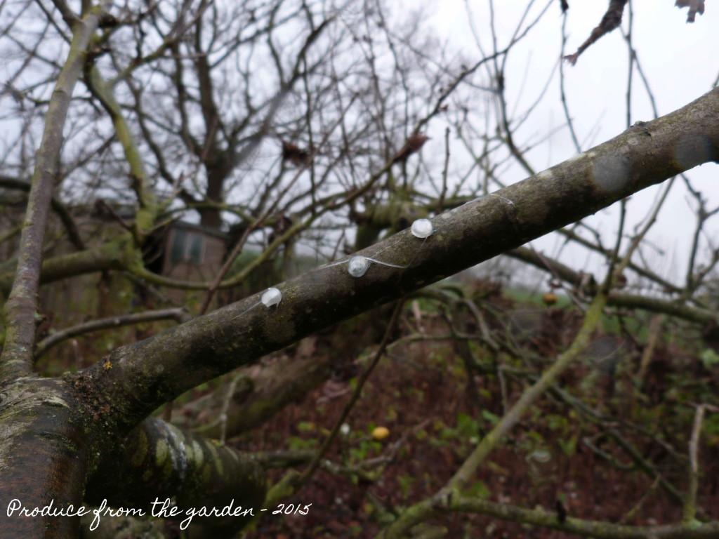 Mistletoe seed and propagation