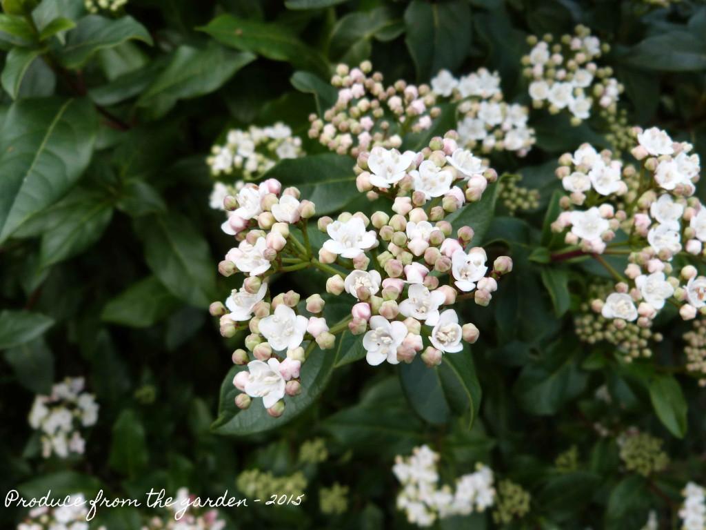 Viburnham Tinus in flower
