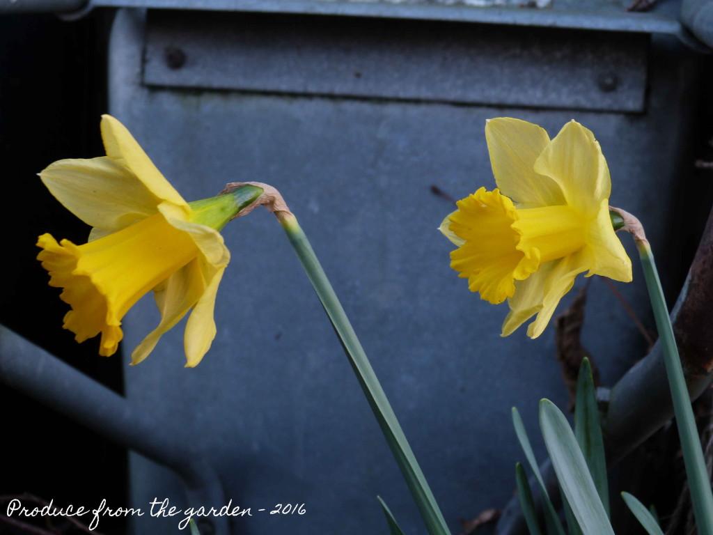 Daffodils flowering in December