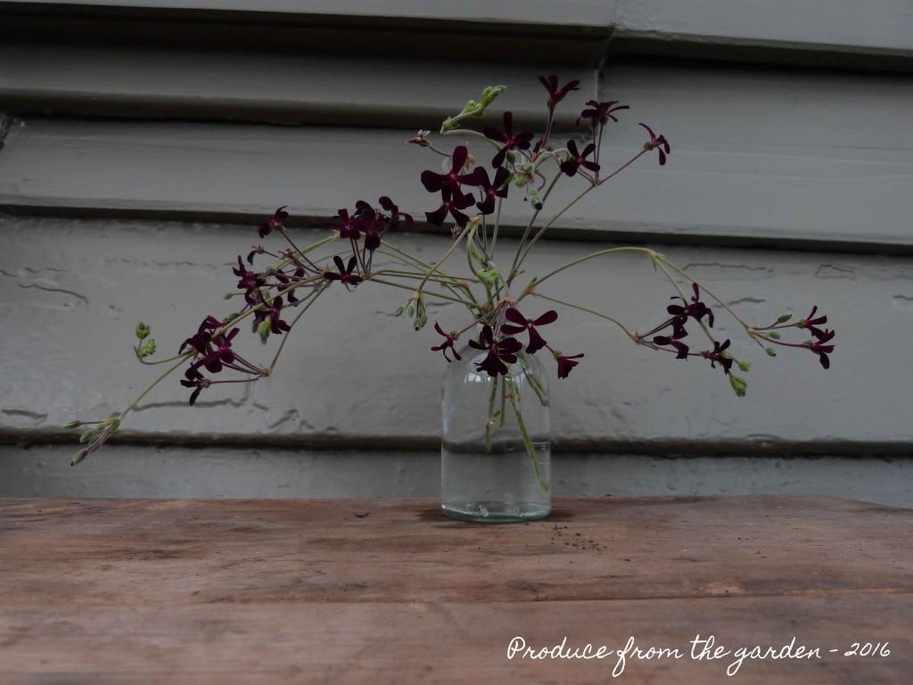 Pelargonium sidoides in a vase