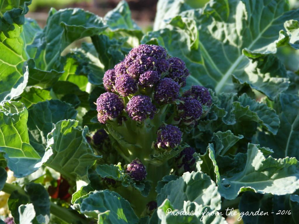 Purple Srpouting Brocolli