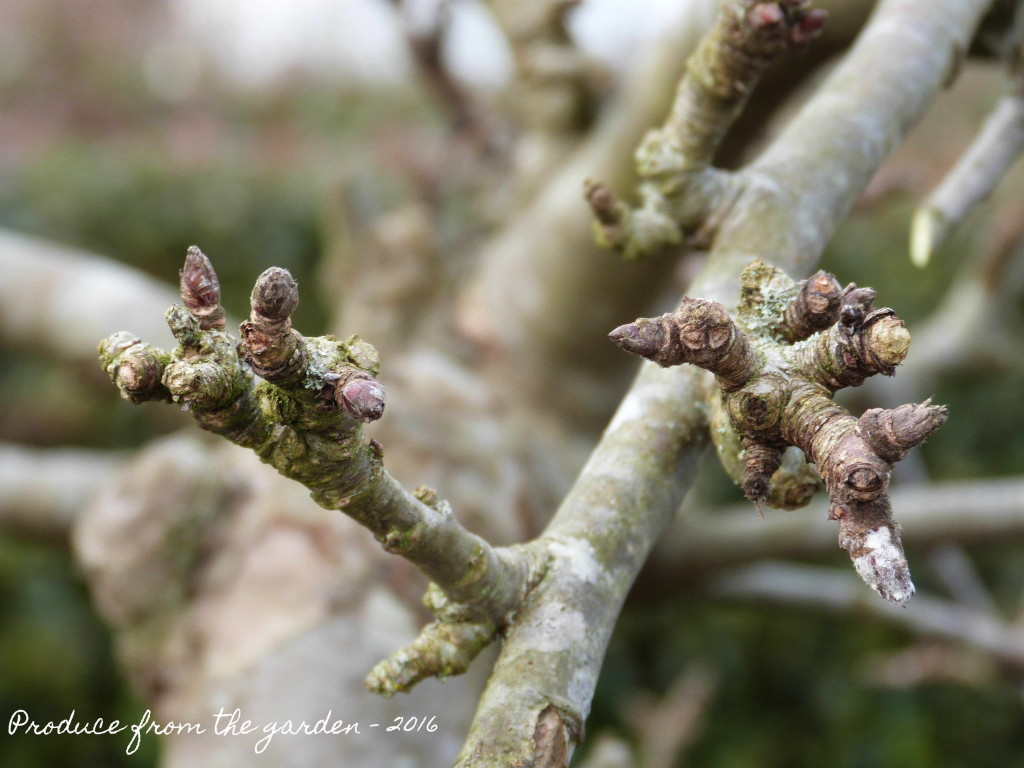 Apple tree fruit bearing buds