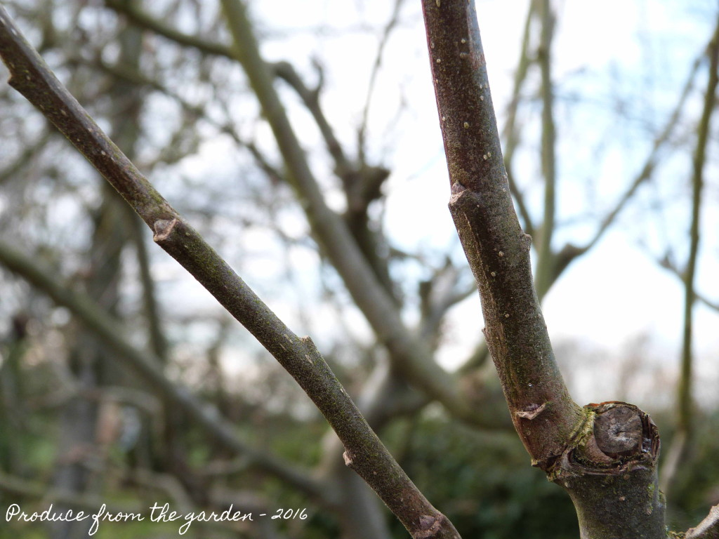 New wood or growth buds on an apple tree