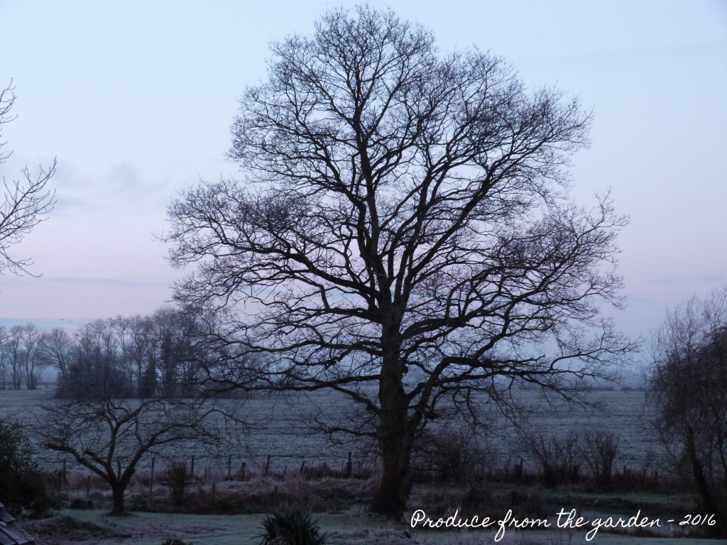 Oak tree in frost