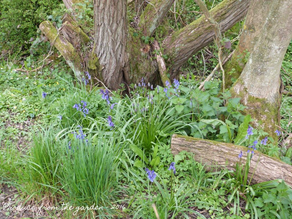 Bluebells on the edge of woodland