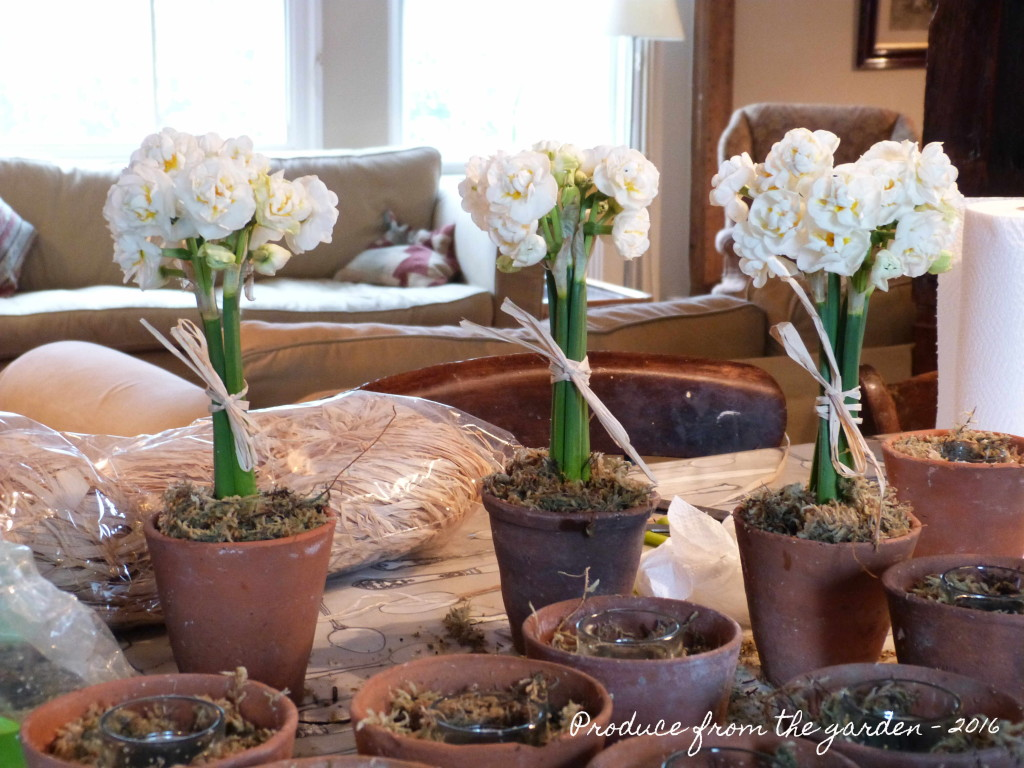 Narcissus Bridal Crown in flower pots
