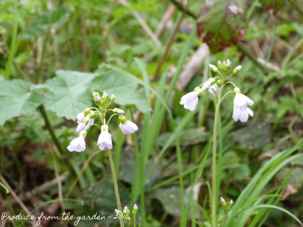 Cardamine pratensis ( Ladies smock)