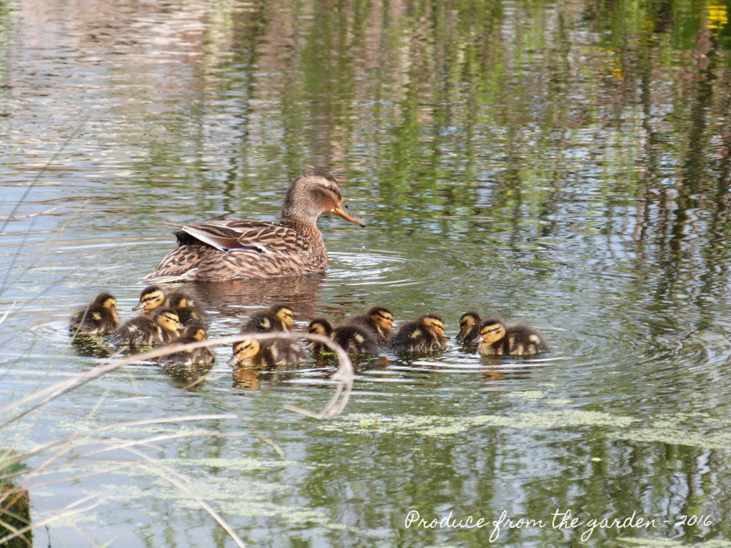 Ducklings of for a swim