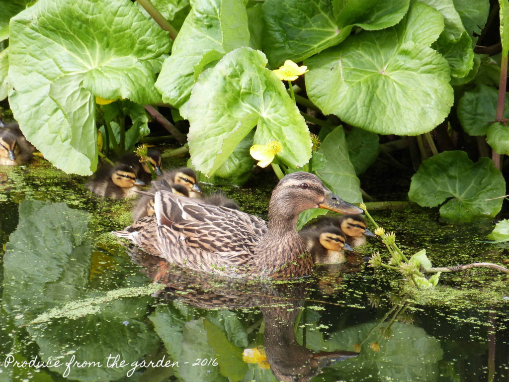 Mrs Duck and her babies