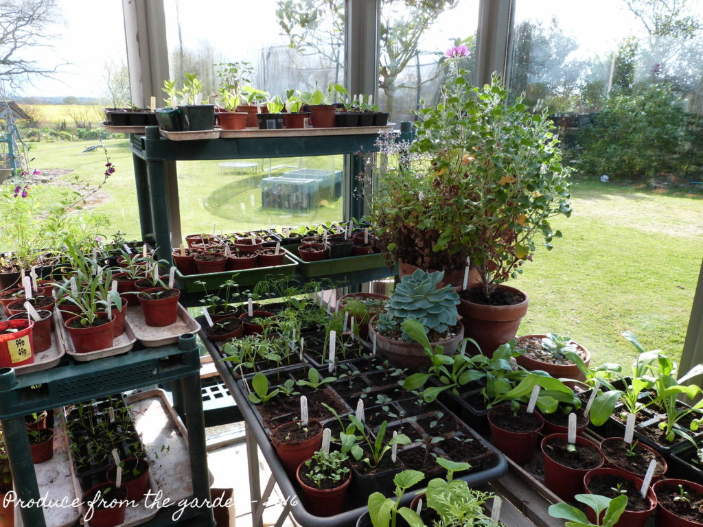Seedlings in the conservatory
