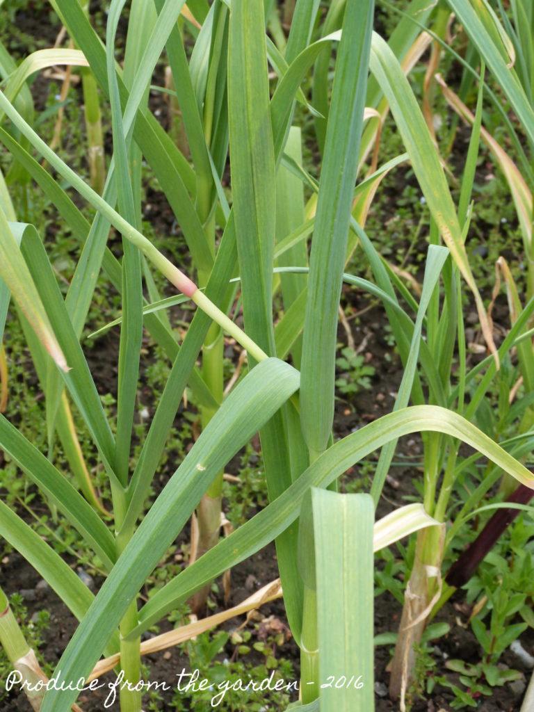 Garlic flower buds
