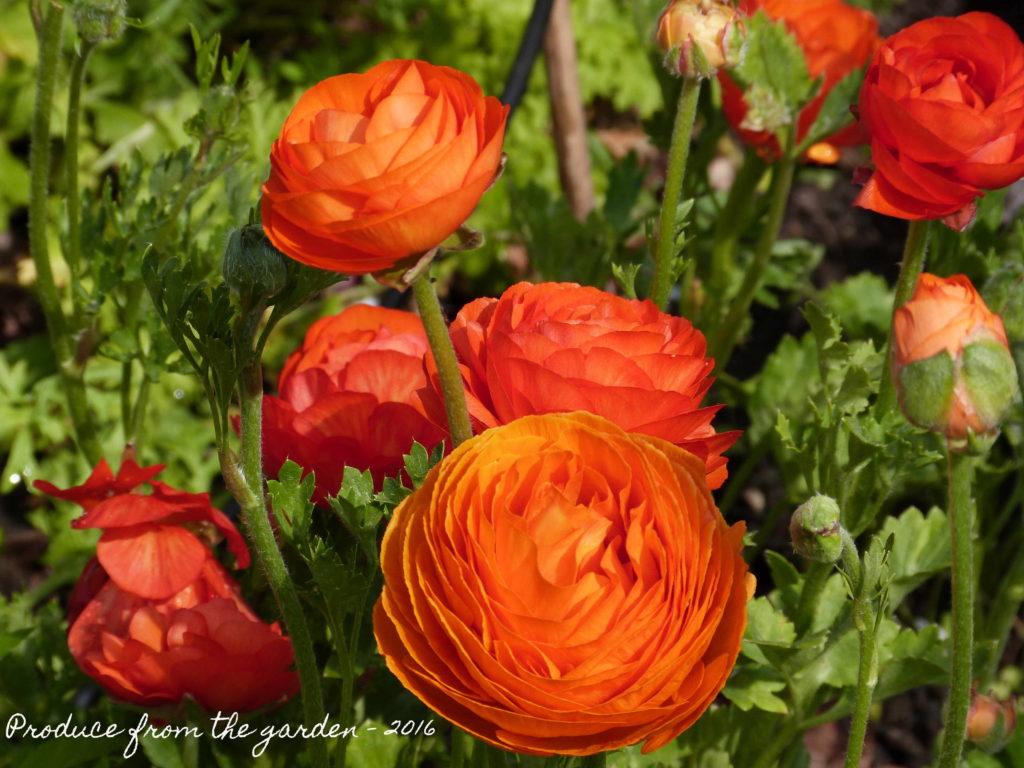 Ranunculus Aviv Orange