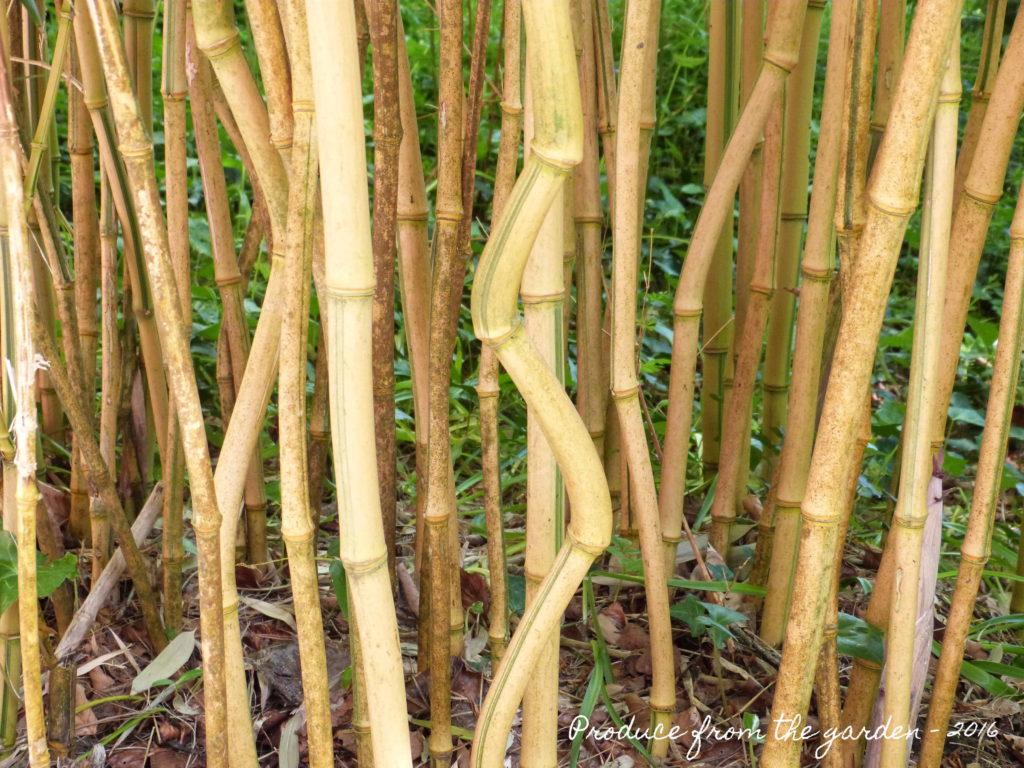 Trengwainton Bamboo