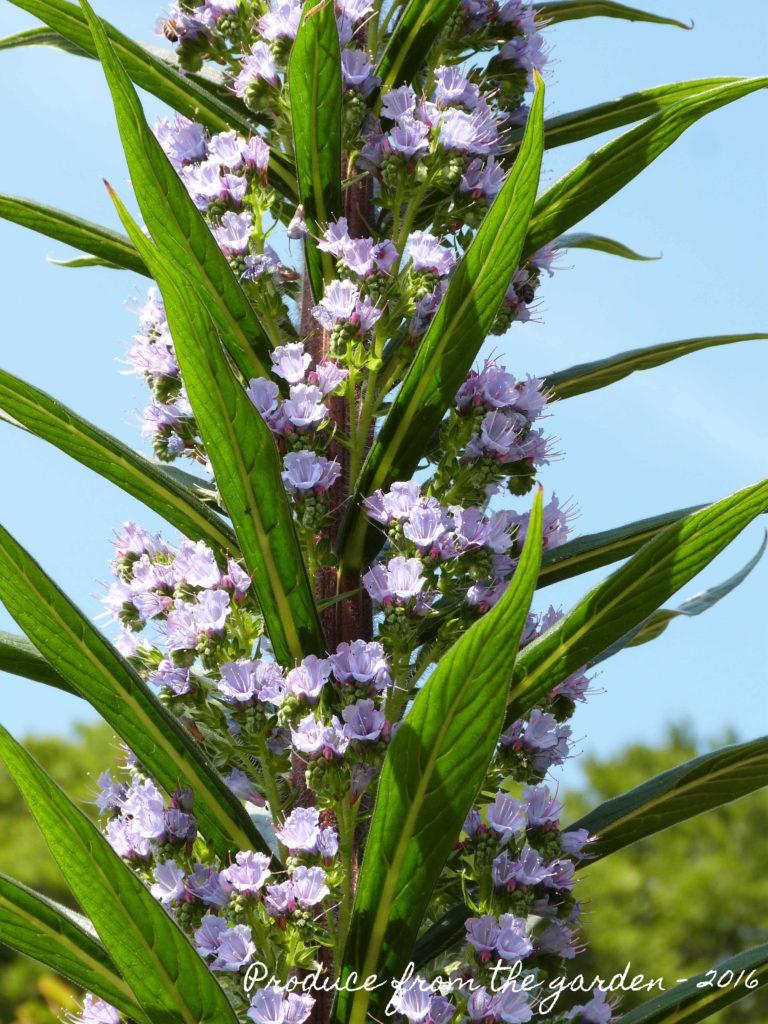 Trengwainton Echium close up