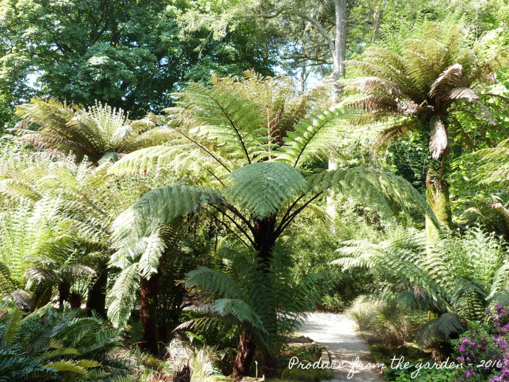 Trengwainton Tree ferns