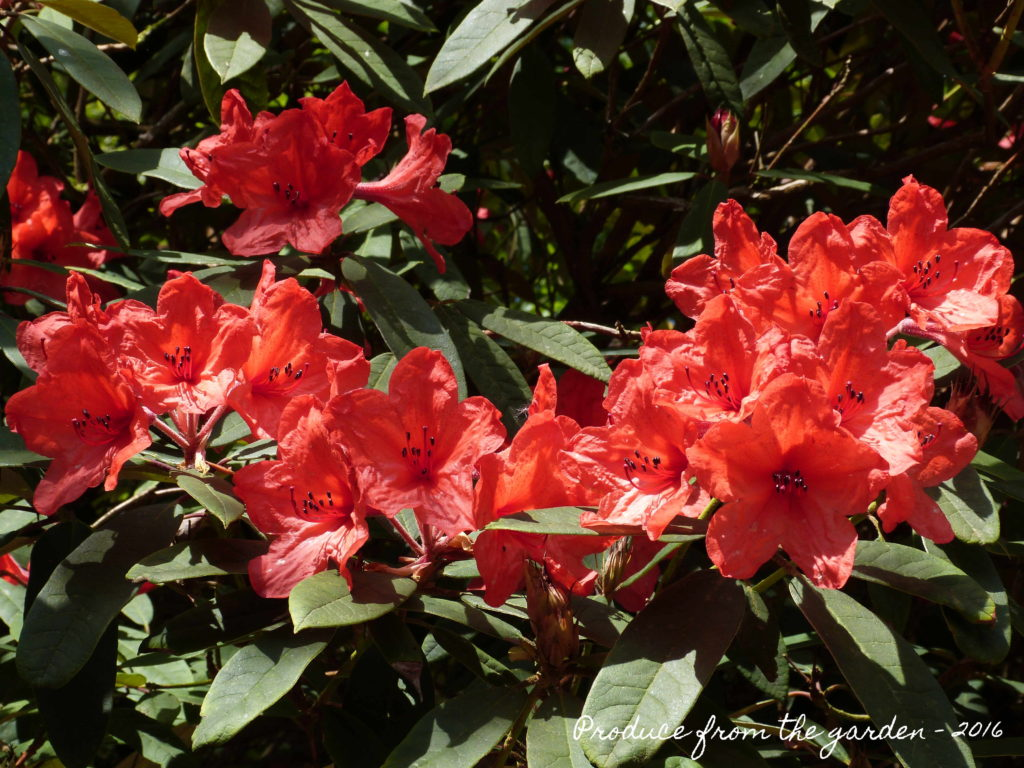 Trengwainton rhododendron