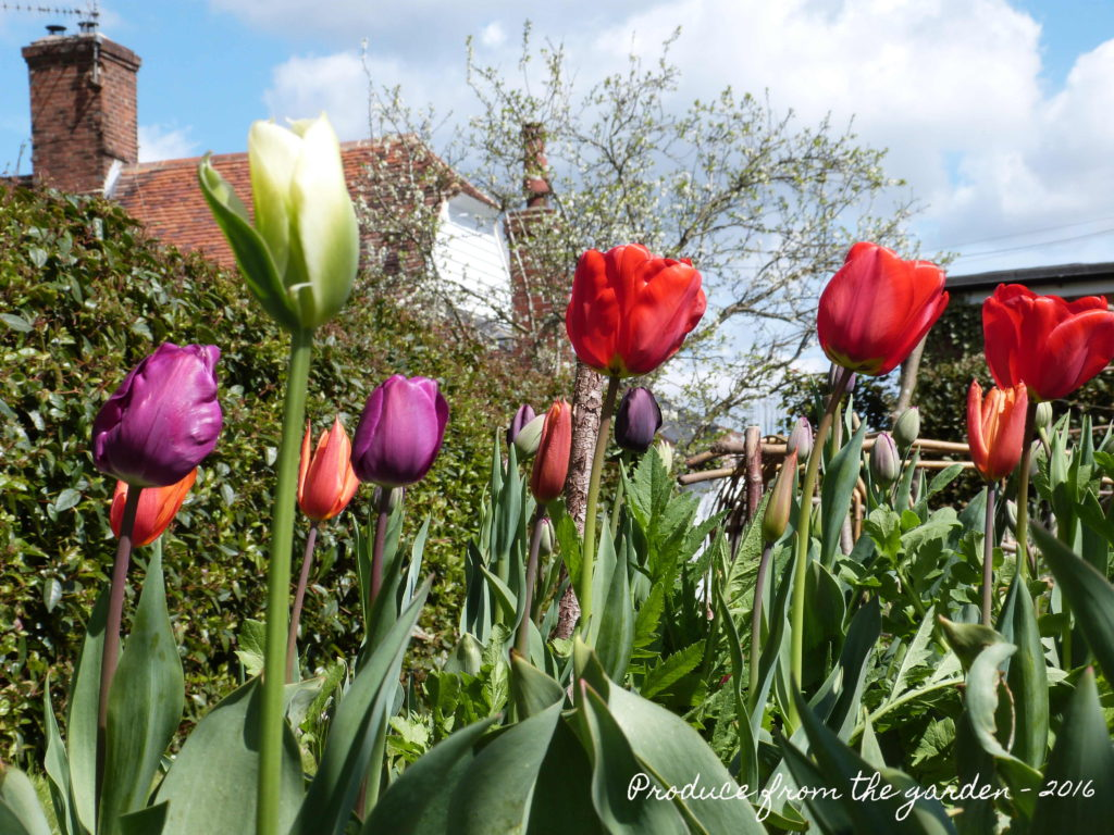 Tulips in the cutting border