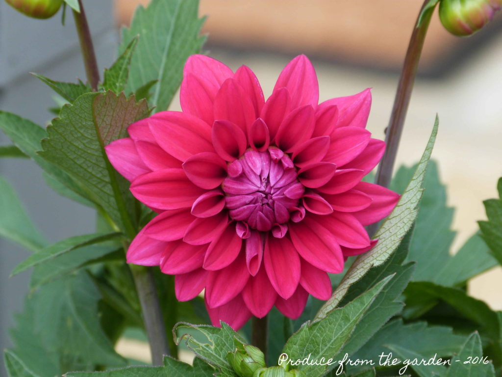 Dahlia unknown