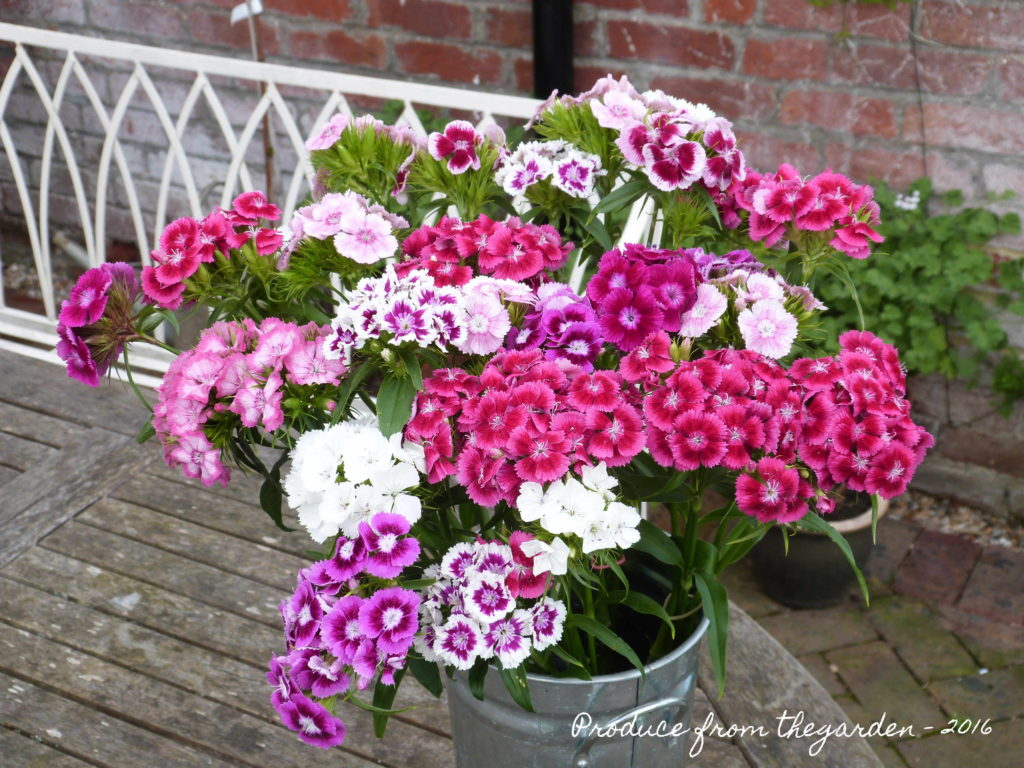 Sweet William from the cutting border