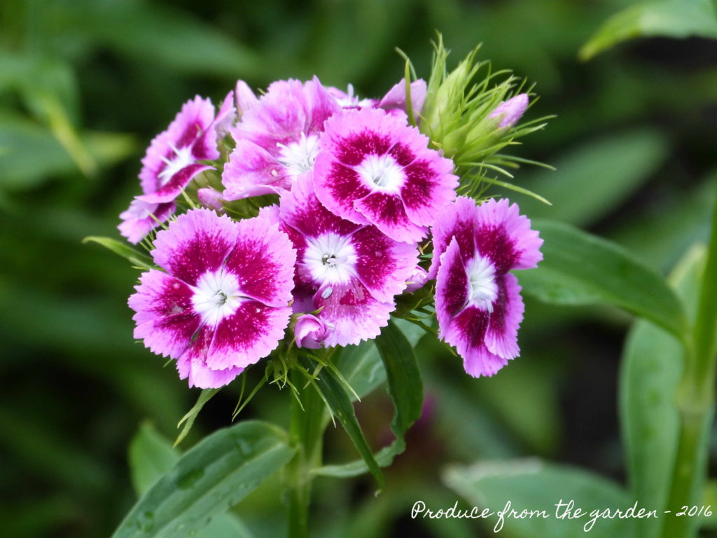 Sweet William a stonking good cut flower – Produce From The Garden